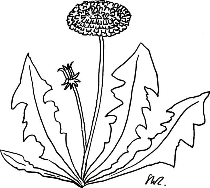 löwenzahnpflanze  kindergaudi