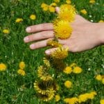 Löwenzahn, Blume, Pusteblume, Frühling, Garten, Kranz, Krone, Kette, Garten, Kinder, Kindergarten, Schule