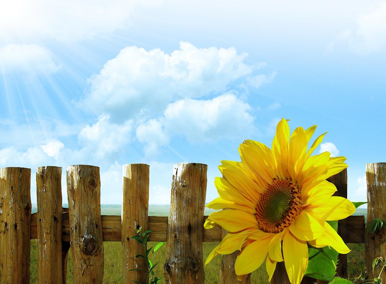Die Sonnenblume steht an unserem Gartenzaun